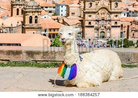 Sleeping Lama at the San Cristobal Church yard Cusco Peru