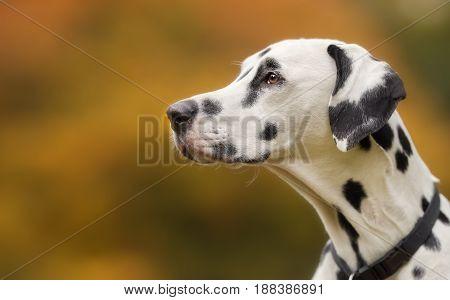 Dalmatian Dog In Autumn