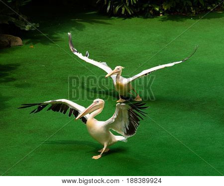 Two Pelicans flap thier wings and walk against a bright green background
