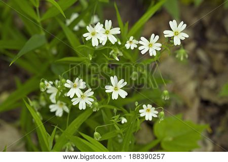 A field of stellaria media flowers in the forest