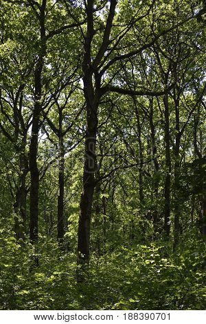 Oak Woodland In Late Spring