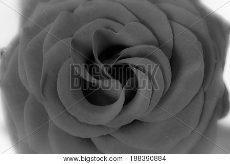 Rose. Beautiful black and white flower. Macro.