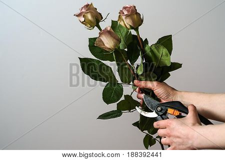 Florist hands cutting bunch of fresh pink roses.