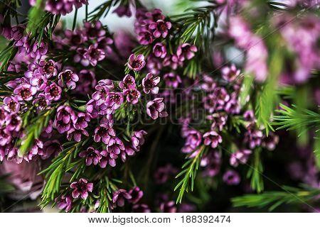 Macro photo of Geraldton wax flowers (Chamelaucium uncinatum)