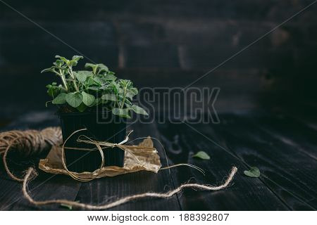 Fresh oregano in pot on the wooden background with copy space.