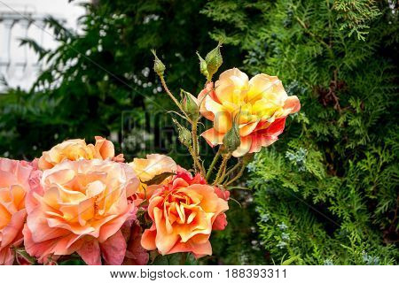 Orange roses on their trees in the Serbian countryside green trees can be seen in the background