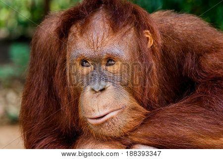 portrait of the orangutan in the zoo in thailand.
