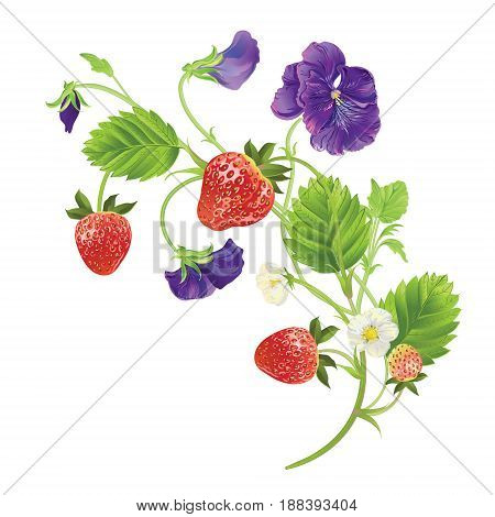 Strawberry and heartsease with leave, water drops and flowers. Vector realistic illustration. On white background. Design for grocery, farmers market, natural cosmetics, summer garden design element.