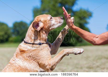 Labrador Retriever Makes High Five