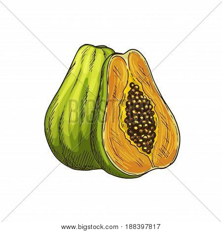 Papaya exotic fruit sketch. Whole and half of tropical pawpaw fruit isolated symbol for exotic fruit dessert or cocktail menu, juice label, healthy vegetarian food, organic farming themes design