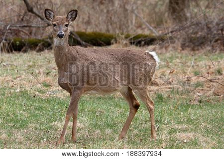 White-tailed Deer (Odocoileus virginianus) doe in a field