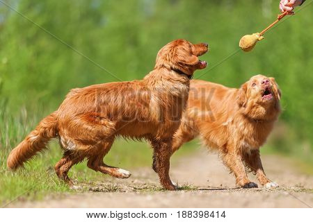 Person Plays With Nova Scotia Duck Tolling Retriever