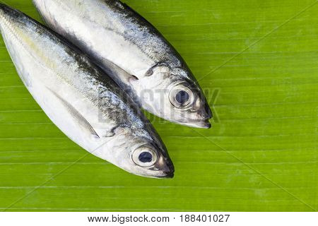 Selar crumenophthalmus Bigeye scad fish on banana leaves background