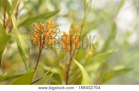 Australian flora Grevillea orange marmalade cultivar flower