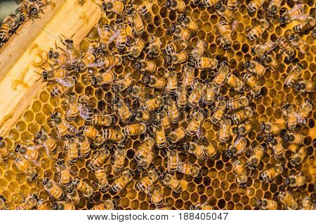 Selective focus - close up macro of bee on honeycomb
