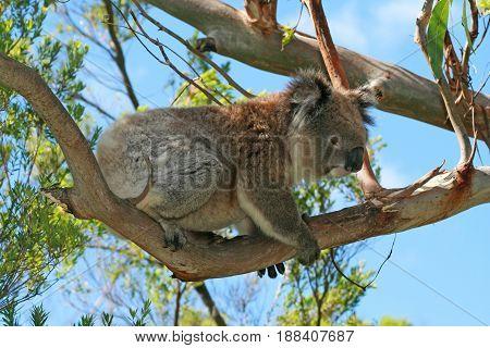 Koala climbing in the eucalyptus trees on Cape Otway in Victoria Australia AUS
