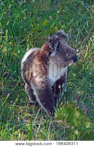 Koala in the wild walking on the ground in Cape Otway in Victoria Australia