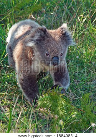 Koala Bear in the wild walking on the ground in Cape Otway in Victoria Australia