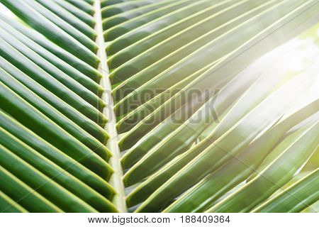 Natural coconut leaves and sunlight for background