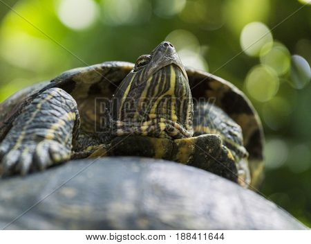 Portrait of a relaxed Turtle. Red Eared Terrapin. Close-up of a Turtle in Sunlight. Trachemys scripta Elegans. Red Eared Sliders.
