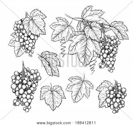 Grape brunch and leaves in engraving style on white background. Hand drawn vector sketch grape for design wine label. Different grape. Grape mix illustration. Vector grape hand drawn sketch. Grape