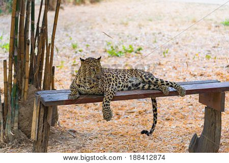 Cats Predator Sri Lankan Leopard (panthera Pardus Kotiya). Wildlife Animal.