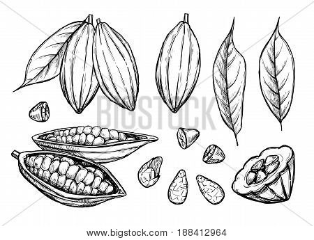 Cocoa beans vector isolated on white background. Engraved vector illustration of leaves and nuts of cocoa beans. Different cocoa. Cocoa mix illustration. Vector cocoa hand drawn sketch. Cocoa.