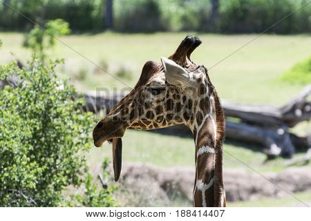 Closeup of a goofy looking Reticulated Giraffe as it looks off the the side with its tongue hanging out of its mouth making it look really silly.
