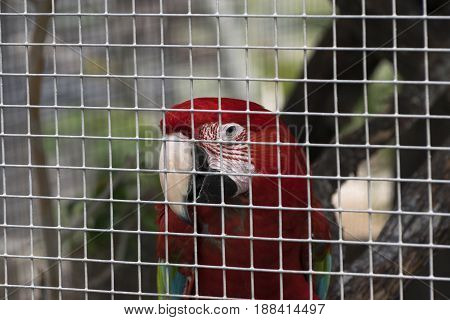 Red and green Scarlet Macaw sitting on a branch and peering through the bars of its cage where it lives out in life in captivity.