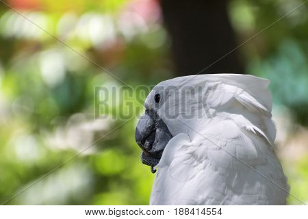 Closeup of a White Cockatoo chewing on a stick that its holding in its claw while the blurry colors of the distant trees make a beautiful background.