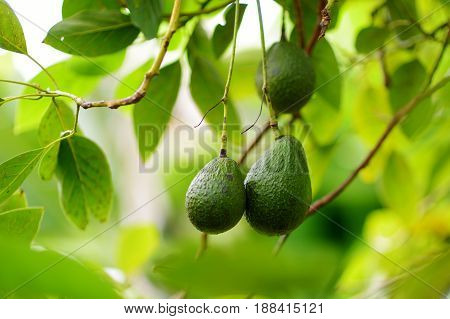 Bunch Of Fresh Avocados Ripening On An Avocado Tree Branch