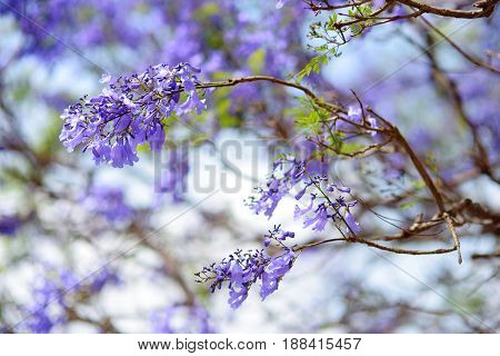 Close Up Of Beautiful Purple Jacaranda Trees Flowering Along The Roads Of Big Island Of Hawaii