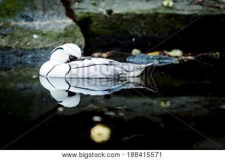 Male of white duck names the smew (Mergellus albellus) in water