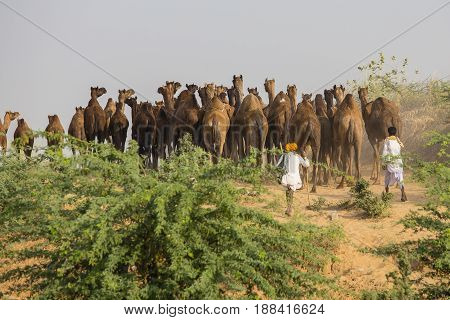 PUSHKAR INDIA - OCTOBER 28 2014: Unidentified Indian men and herd camel attended the annual Pushkar Camel Mela. This fair is the largest camel trading fair in the world