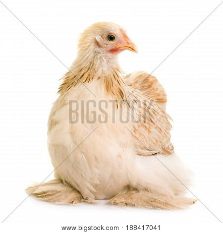 Pekin chicken in front of white background