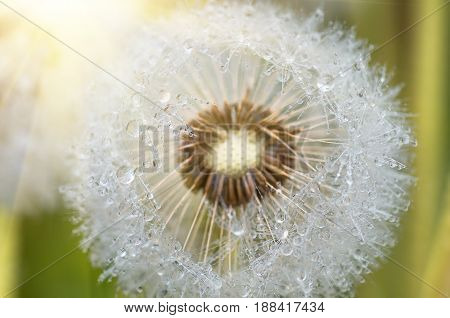 Drops of dew formed in the summer morning on the fuzz of a dandelion flower leontodon