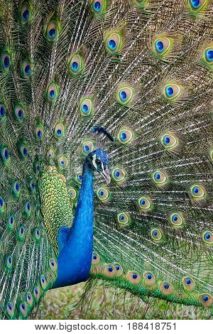 Indian Peafowl, Peacock