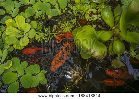 in the reservoir float red fish, look through the water lilies. many green leaves on the water, in the water bright fishes