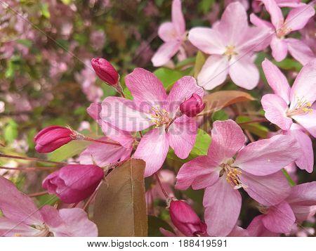 Apple flower pink rose tree blossom closeup
