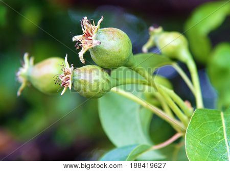 Young immature pear fruits in early spring photo with local focus