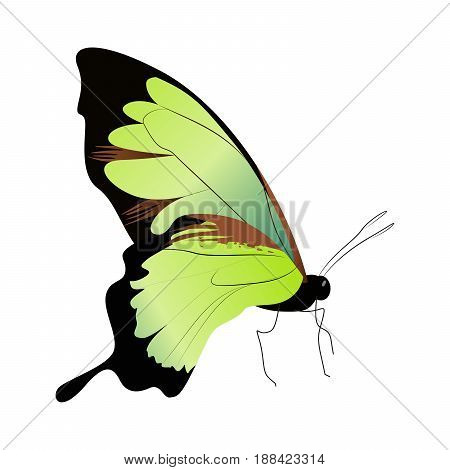 Isolated beautiful butterfly on white background. Green colors. Side view.