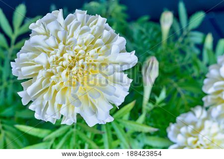 One Flower Of Aster Closeup
