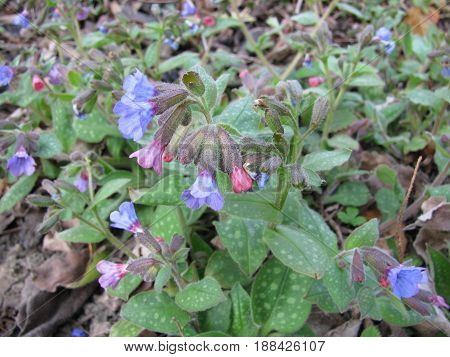 Lungwort, Pulmonaria officinalis, with flowers in herb garden