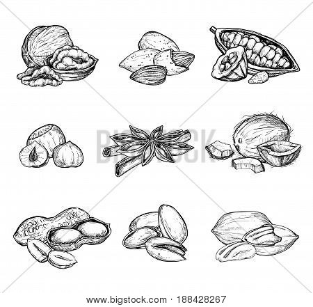 Nuts mix vector isolated on white background. Engraved vector illustration of hazelnut, cocoa, coconut, peanut and other nuts. Different nuts mix. Handdrawn nuts mix. Vector nuts set.