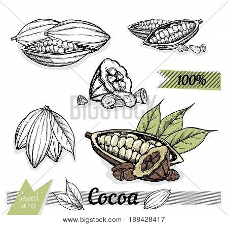 Cocoa vector isolated on white background. Engraved vector illustration of leaves and beans of cocoa. Hand drawn cocoa nuts. Set of cocoa nuts. Vector cocoa composition. Simple cocoa illustration.