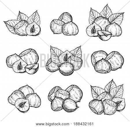 Hazelnut vector isolated on white background. Engraved vector illustration of leaves and nuts of hazelnut. Hand drawn hazelnut nuts. Set of hazelnut nuts. Vector hazelnut composition. Simple hazelnut illustration.