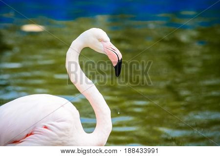 Side profile of beautiful flamingo with water in background