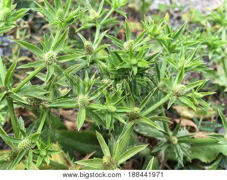 close up fresh green eryngium foetidum plant in nature garden