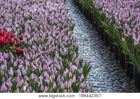 Stone roadway among lilac tulips in the day