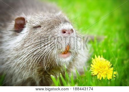 Portrait of funny cute nutria sniffing dandelions sitting in the grass